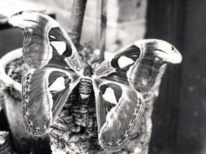 Atlas Moth, 1914 by Frederick William Bond