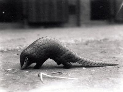 Chinese Pangolin, July 1925