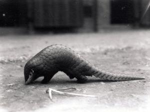 Chinese Pangolin, July 1925 by Frederick William Bond