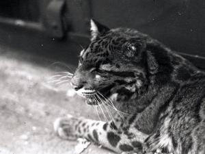 Clouded Leopard, 1922 by Frederick William Bond