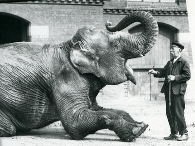 Female Indian Elephant 'Suffa Culli'