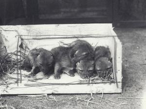 Jackal Pups in a Box, 1915 by Frederick William Bond