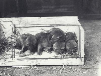 Jackal Pups in a Box, 1915