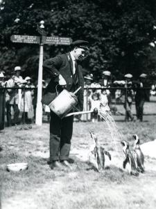 Keeper, Ernie Sceales, Gives Three Penguins a Shower from a Watering Can, London Zoo, 1919 by Frederick William Bond