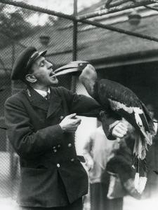 Keeper,T. Raggett Feeding a Great Indian Hornbill with a Fruit Held in His Mouth. London Zoo 1924 by Frederick William Bond