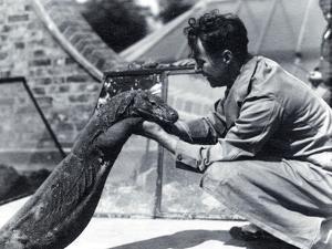 Komodo Dragon Sumbawa with Keeper H. Alec Budd, 1928 by Frederick William Bond
