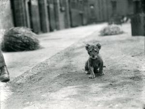 Lion Cub at London Zoo, 1912 by Frederick William Bond