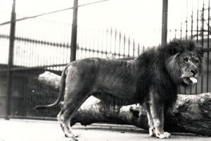 Lion Named 'Dick', Sticking His Tongue Out by Frederick William Bond