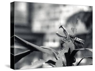 Praying Mantis, 1915