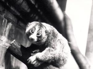 Slow Loris on a Branch at the Zoo, 1913 by Frederick William Bond