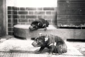 Tasmanian Devils by Frederick William Bond