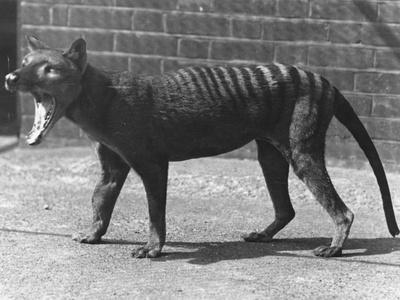 The Now Extinct Tasmanian Tiger, or Thylacine, 1914