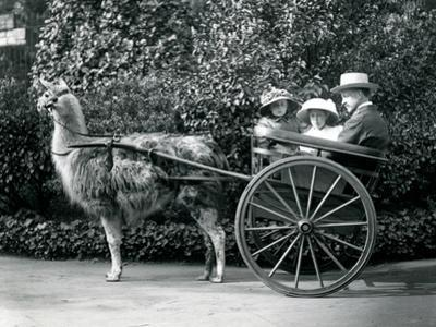 Three Visitors, Including Two Young Girls, Riding in a Cart Pulled by a Llama, London Zoo, C.1912 by Frederick William Bond