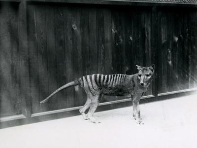 Thylacine/ Tasmanian Wolf at London Zoo, before 1930