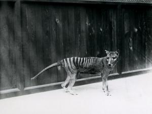 Thylacine/ Tasmanian Wolf at London Zoo, before 1930 by Frederick William Bond