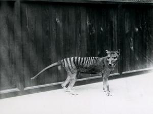 Thylacine/ Tasmanian Wolf at London Zoo, before 1930 by Frederick William Bond