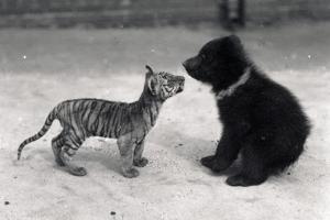Tiger Cub Meets Bear Cub, 1914 by Frederick William Bond
