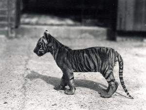Tiger Cub Standing, 1914 by Frederick William Bond