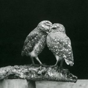 Two Burrowing Owls...London Zoo, July 1926 (b/w photo) by Frederick William Bond