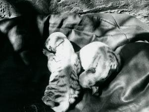 Two Striped Hyaena Cubs at London Zoo, C.1914 by Frederick William Bond