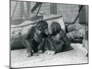 Two Young Chimpanzees, Boo Boo and Bibi, Kiss. London Zoo, September 1927 by Frederick William Bond