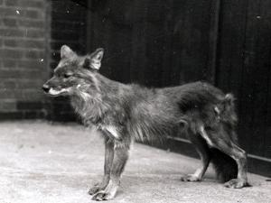 Wild Dog at Zsl London Zoo by Frederick William Bond