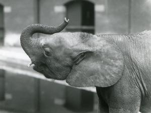 Young female African Pygmy Elephant 'Oojah' raising her trunk at London Zoo, July 1925 (b/w photo) by Frederick William Bond
