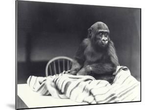 Young Gorilla 'John David' by Frederick William Bond