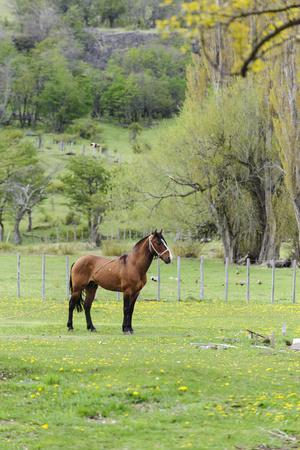 Chile, Aysen, Cerro Castillo. Horse in pasture.