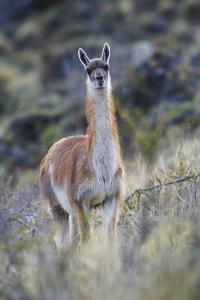Chile, Aysen, Valle Chacabuco. Guanaco in Patagonia Park. by Fredrik Norrsell