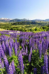 Lupine Field, Coyhaique, Aysen, Chile by Fredrik Norrsell