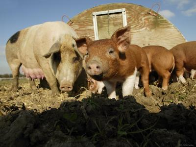 Free Range Organic Pig Sow with Piglets, Wiltshire, UK-T^j^ Rich-Photographic Print