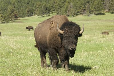 Free-Ranging Bison Bull on the Grasslands of Custer State Park in the Black Hills, South Dakota--Photographic Print