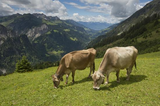 Free-Roaming Dairy Cattle Grazing in a Meadow in the Austrian Alps in Summer-Ulla Lohmann-Photographic Print