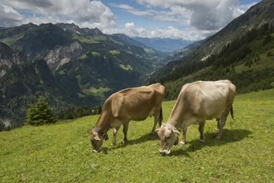 https://imgc.artprintimages.com/img/print/free-roaming-dairy-cattle-grazing-in-a-meadow-in-the-austrian-alps-in-summer_u-l-psweiz0.jpg?p=0