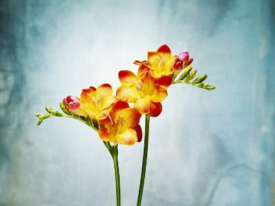 Freesia, Flower, Blossoms, Buds, Still Life, Red, Yellow, Blue-Axel Killian-Photographic Print