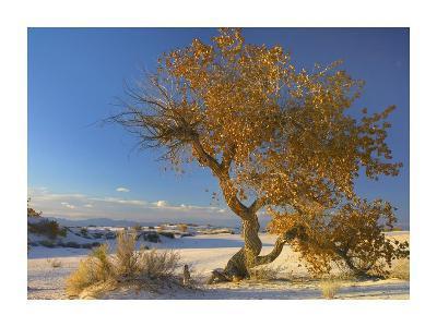 Fremont Cottonwood single tree in desert, White Sands National Monument, New Mexico-Tim Fitzharris-Art Print