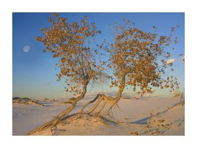 Fremont Cottonwood trees, White Sands National Monument, New Mexico-Tim Fitzharris-Art Print