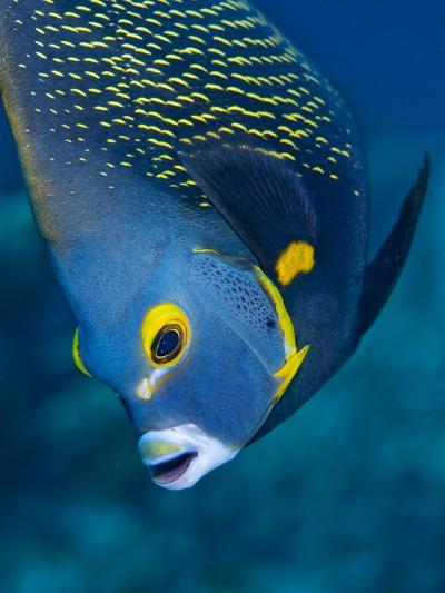 French Angelfish, Bonaire-Paul Souders-Photographic Print
