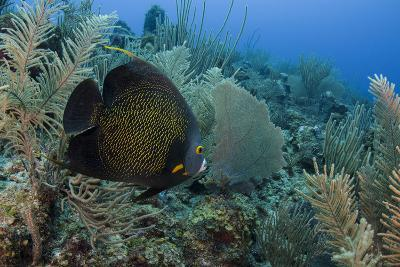 French Angelfish, Hol Chan Marine Reserve, Ambergris Caye, Belize-Pete Oxford-Photographic Print