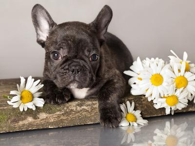 French Bulldog and Chamomile-Lilun-Photographic Print