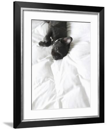 French Bulldog Lying on Bed--Framed Photographic Print
