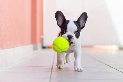 French Bulldog Puppy Playing with His Ball- Kwiatek7-Photographic Print