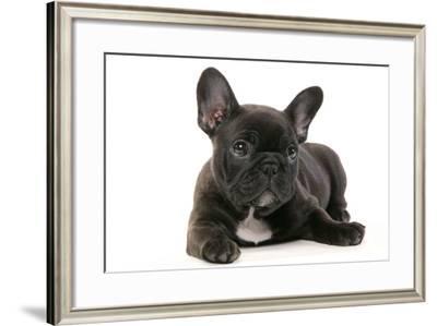 French Bulldog Puppy--Framed Photographic Print