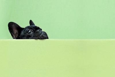 French Bulldog Puppy-retales botijero-Photographic Print