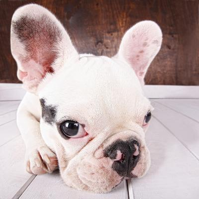 French Bulldog Puppy-MAIKA 777-Photographic Print