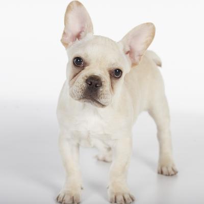 French Bulldog--Photographic Print