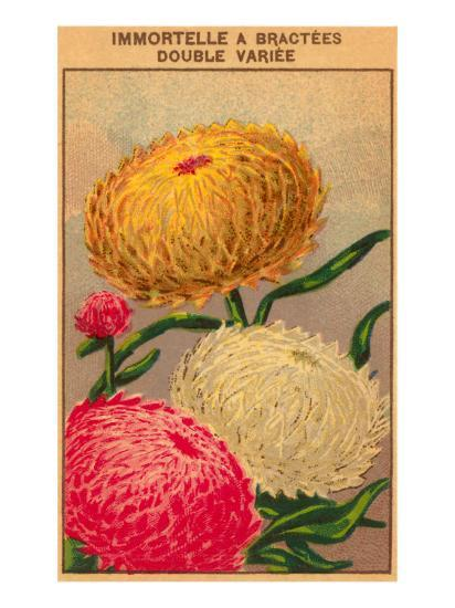 French Dahlia Seed Packet--Art Print