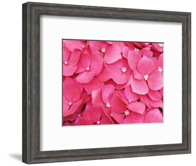French hydrangea-Frank Krahmer-Framed Photographic Print