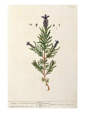 https://imgc.artprintimages.com/img/print/french-lavender-plate-241-from-a-curious-herbal-published-1782_u-l-p94aqi0.jpg?p=0